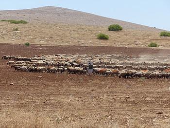 راعي أغنام فلسطيني من منطقة البقعية، في غور الأردن، أيار/مايو 2017. تصوير مكتب تنسيق الشؤون الإنسانية