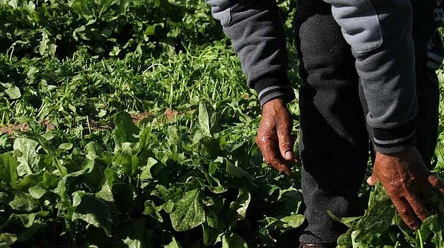 Nasser Sammour with his affected spinach, January 2017. © Photo FSS focal points in Qarara