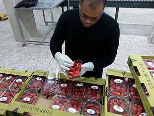 Gaza strawberry production, a vital export. © Photo Credit: FAO