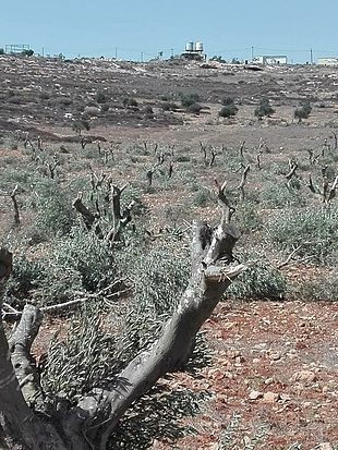 Cut down and vandalism of 120 olive trees in Al Mughayyir village (Ramallah) by Israeli settlers from Adi Ad settlement. 14 October. Photo taken by a community member. © Photo by OCHA
