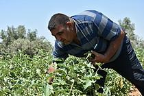 Ahmed Badawi harvesting eggplants, May 2019. Photo by UAWC