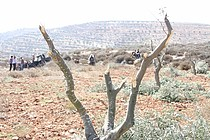 In October 2012, Israeli settlers damaged 140 olive trees belong to Jamil and Rateeb Al Na'san in their land adjacent to Adei Ad. Photo by Mwaffaq Al Na'san, October 2012