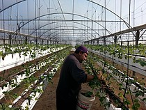 A farmer tends his hanging strawberries in Beit Lahiya, Gaza Strip. © FAO/Masoud Keshta.