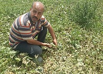Tareq al-Omour showing the low quality of his produce, August 2017. © Photo by FSS.