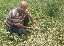 טארק אל־אומור מראה את האיכות הירודה של התוצרת החקלאית שלו, אוגוסט 2017 / © צילום: כוח המשימה לענייני ביטחון תזונתי