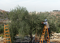 Olive picking event organized by the Humanitarian Country Team, Biddu village (Jerusalem), 23 October 2014. Photo by OCHA