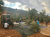 Palestinian farmers picking ollives in land near Alon Moreh settlement requiring access coordination, Azmut village, October 31, 2017. © Photo by OCHA
