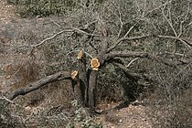 أشجار مقتلعة في سياق بناء الجدار في منطقة بيت لحم.صورة بواسطة مكتب تنسيق الشؤون الإنسانية