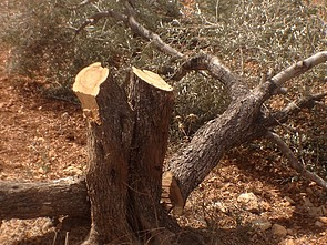 More than 60 trees were cut down by settlers of Tappuah in Yassuf village, Salft Governorate. September 2014. Photo by OCHA