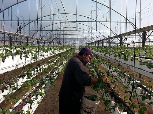 A farmer tends his hanging strawberries in Beit Lahiya, Gaza Strip. © FAO/Masoud Keshta.